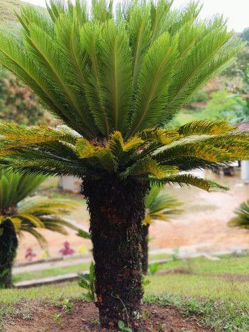 Sagu de Jardim - Cycas Revoluta