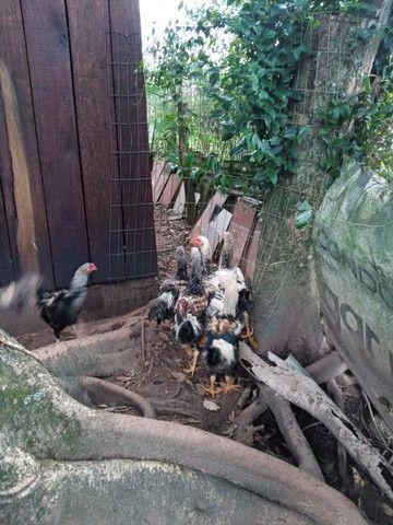 Frangão  indio gigante - Foto 3