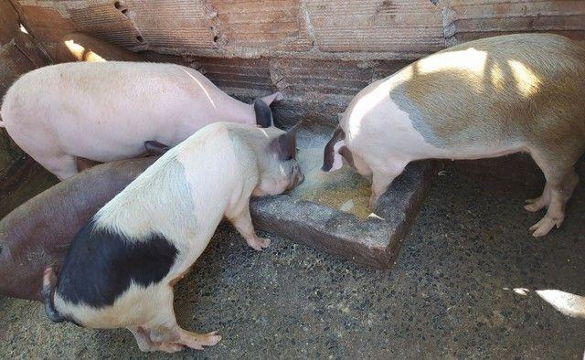 Porco Caipira - Foto 4