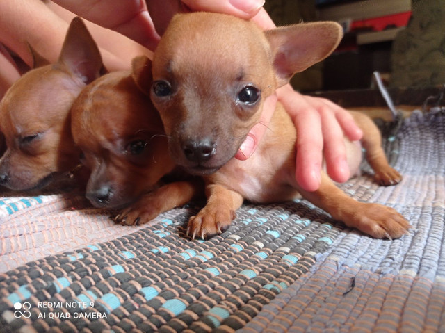 3 Cachorrinhos lindos Pinscher  - Foto 2