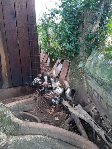 Frangão  indio gigante - Foto 2