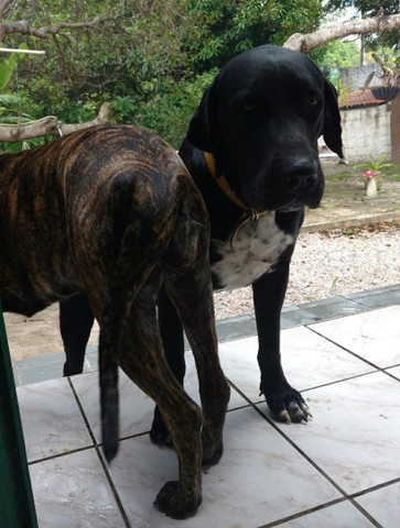 Cães gigantes - Foto 4