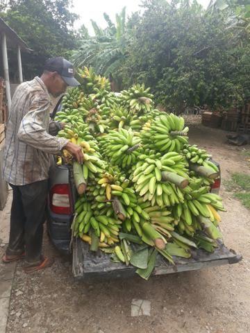 Mudas de banana prata dh2o Sapo e Roxa