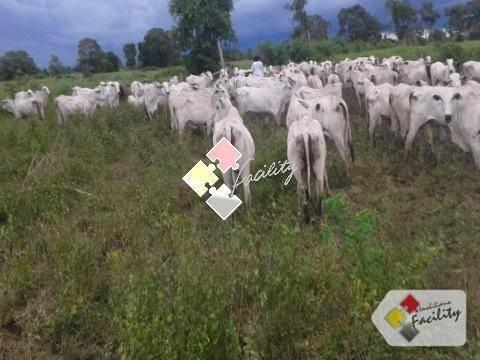 Fazenda rural à venda, zona rural, poconé - . - Foto 15
