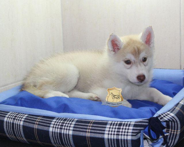 Magnífico Machinho de Husky Siberiano Disponível - Foto 2