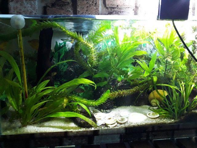 Plantas aquáticas para aquários lagos e fontes - Foto 2