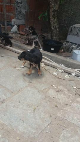 Doação cães vira lata - Foto 3