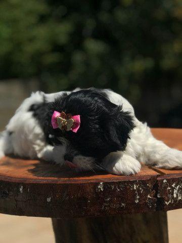 Linda Femêa de lhasa apso disponível pronta entrega - Foto 4