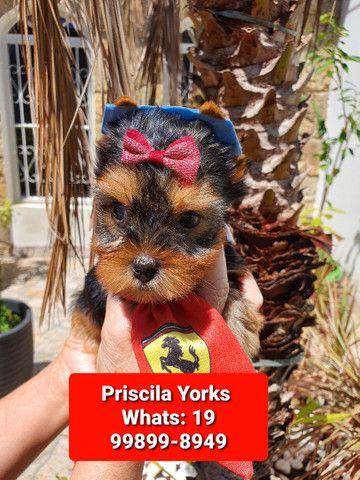 Yorkshire Terrier maravilhosos filhotes - Foto 3