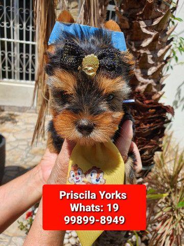 Yorkshire Terrier maravilhosos filhotes