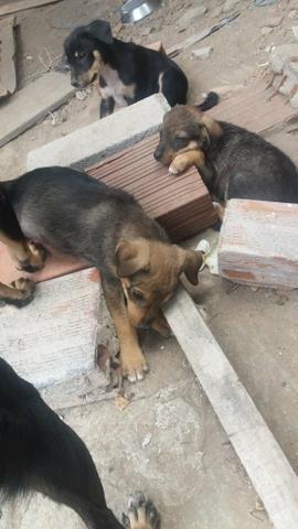 Doação cães vira lata - Foto 5