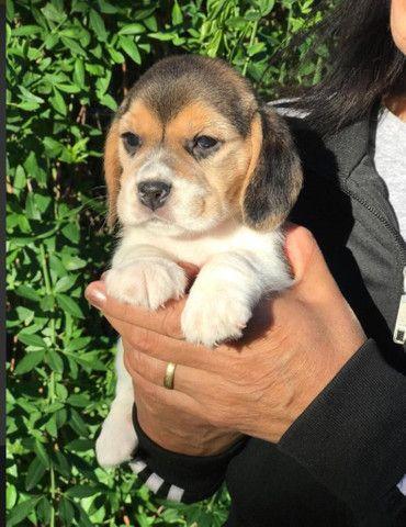 Para alegrar seu dia filhote de Beagle disponível - Foto 4