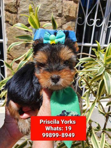 Yorkshire Terrier maravilhosos filhotes - Foto 4