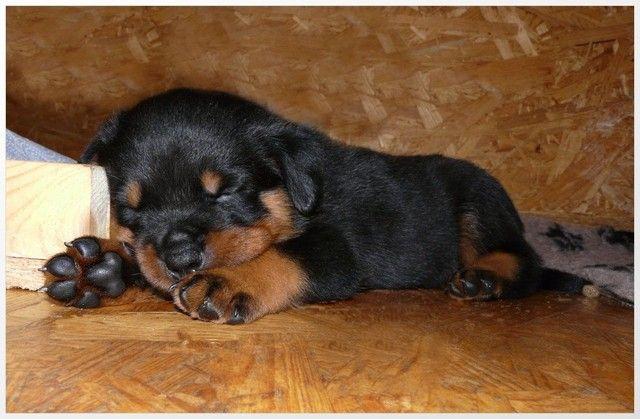 Filhotinhos de Rottweiler  - Foto 3