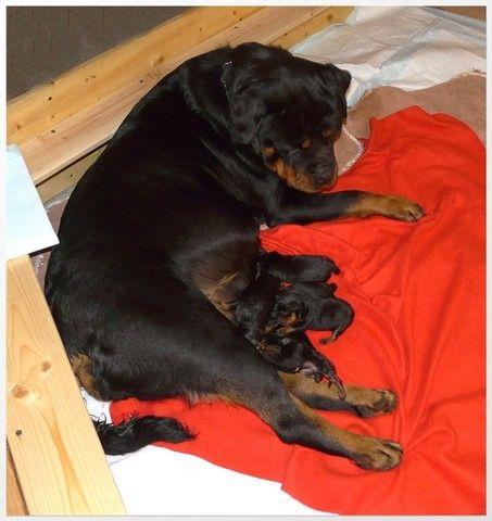 Filhotinhos de Rottweiler  - Foto 2