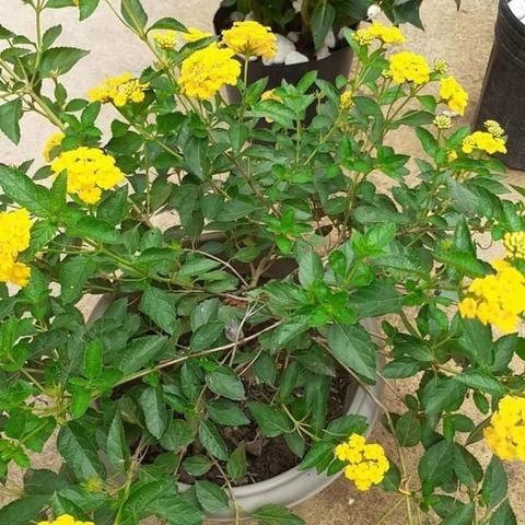 Ipê amarelo - Foto 4