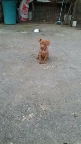 Filhote de pitbull - Foto 3