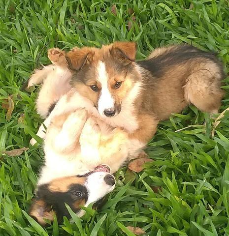Border Collie lindos filhotes - Foto 5