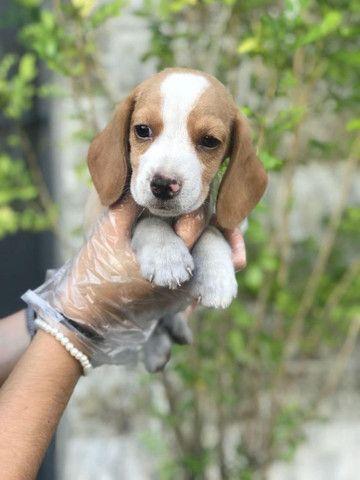 Para alegrar seu dia filhote de Beagle disponível
