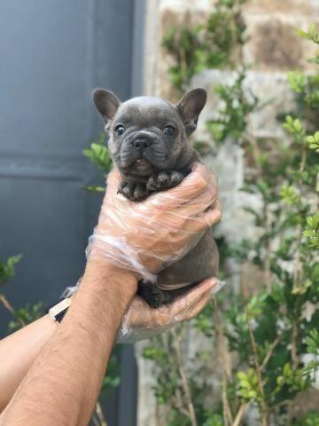 Para alegrar seu dia filhote de Bulldog Francês disponível