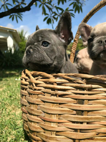 bulldog francês blue FÊMEAS  e MACHOS