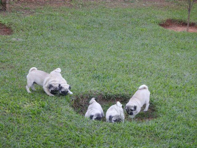 Filhotes De Pug Com GARANTIA - Foto 2