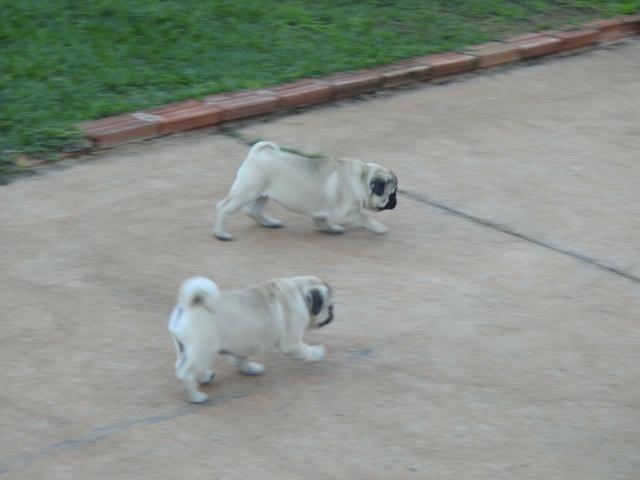Filhotes De Pug Com GARANTIA - Foto 3