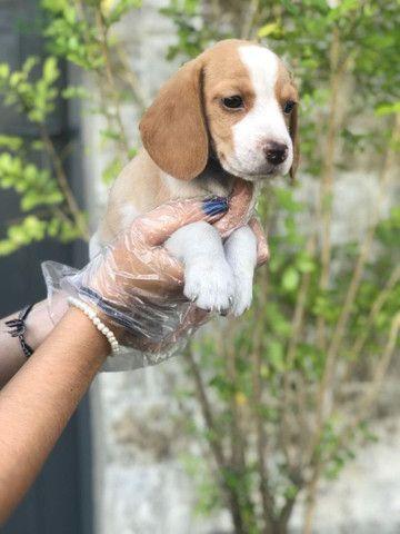 Para alegrar seu dia filhote de Beagle disponível - Foto 3