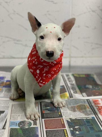 Para alegrar seu dia filhote de Bull Terrier disponível - Foto 2
