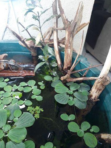 Plantas aquáticas para aquários lagos e fontes - Foto 3