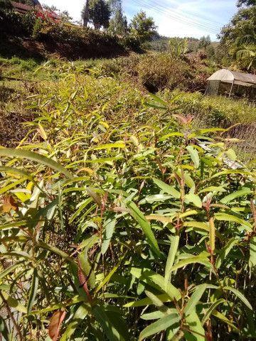 Mudas de Eucalipto Citriodora - Foto 3