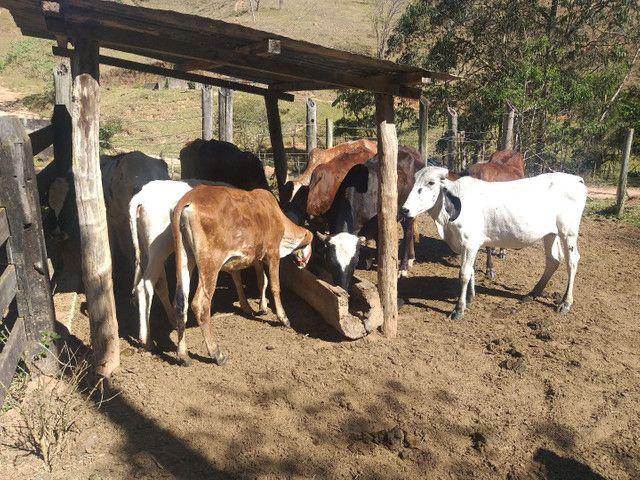 Vaqueiro para fazenda leiteira