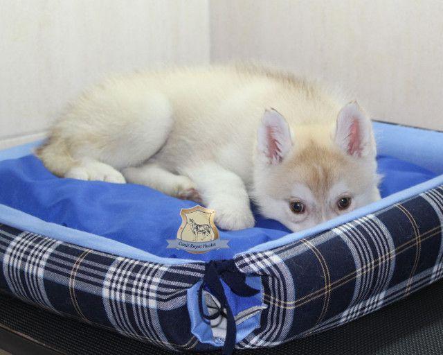 Magnífico Machinho de Husky Siberiano Disponível - Foto 3