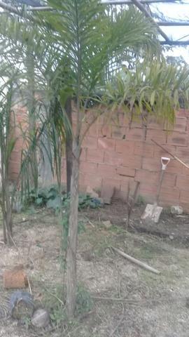 Palmeira rabo de raposa 2 metros - Foto 2
