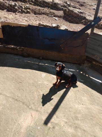 Vendo cachorra Basset ! - Foto 2