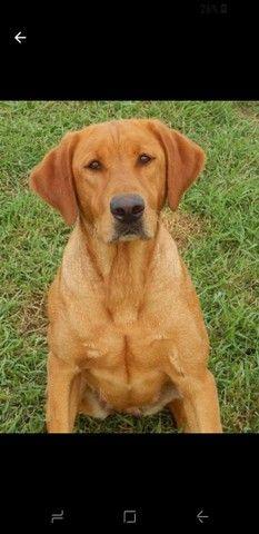 Labrador filhote 3 meses  $ 250  aceita pix