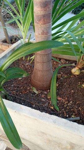Palmeira Imperial Vectra  - Foto 2