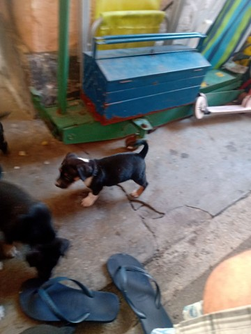 Doação de cachorros - Foto 4