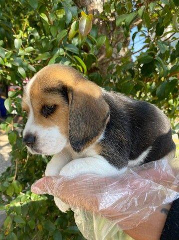 Beagle Tricolor, todos com garantia total de saúde em contrato -whats * - Foto 2