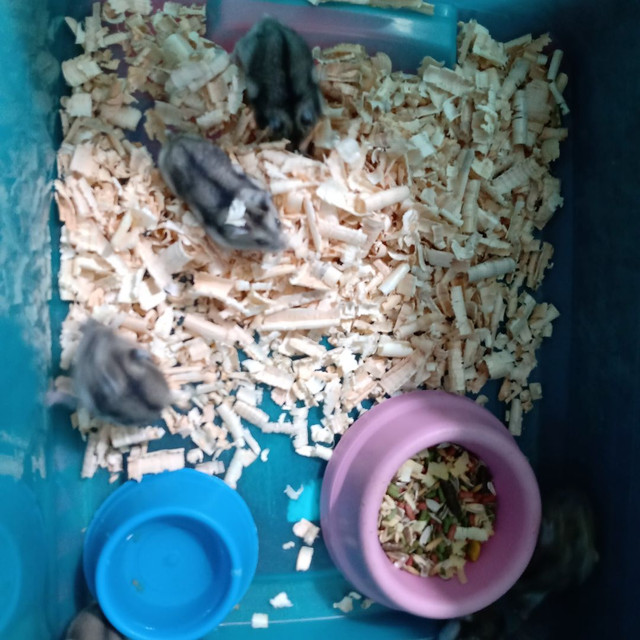 Hamster Sírios e anã russo... - Foto 2