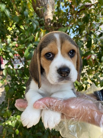 Beagle Tricolor, todos com garantia total de saúde em contrato -whats * - Foto 3
