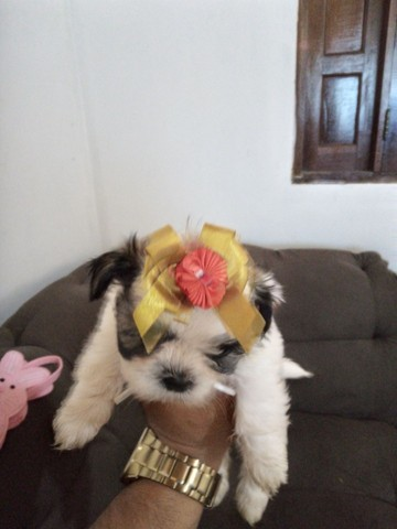 Shitzu fêmea tricolor * - Foto 2