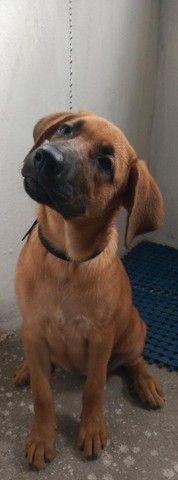 Labrador filhote 3 meses  $ 250  aceita pix - Foto 2