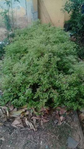 Um lote de mudas de jaboticabas Sabará - Foto 2