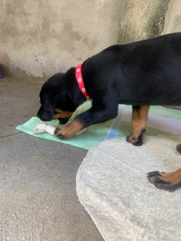 Rottweiler fêmea - Foto 4
