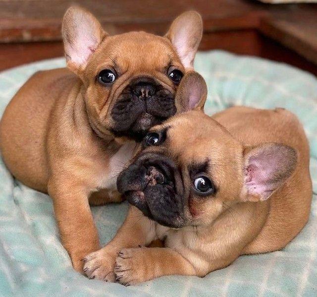 Belos filhotes de Bulldog Francês  - Foto 2