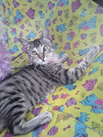 Doação linda gatinha tigradinha castradinha 5 meses  - Foto 6