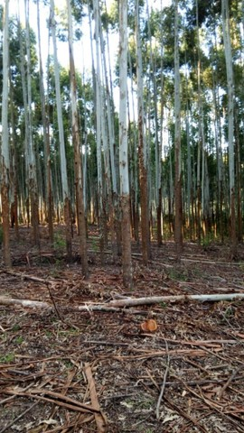Mato de eucalipto - Foto 2