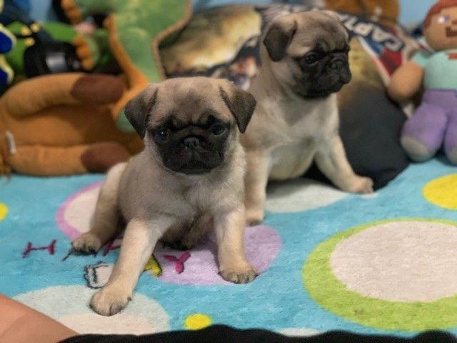 Filhotes de Pug  - Foto 4