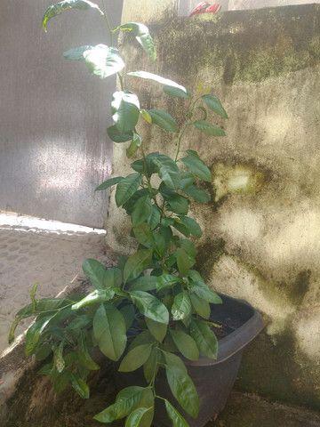 Limão Capeta - Foto 3